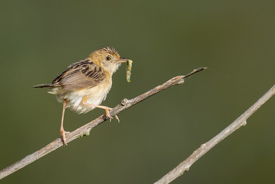 MMPI_20210402_MMPI0076_0015 - Golden-headed Cisticola (Cisticola exilis) perching on a branch with Caterpillar catch.