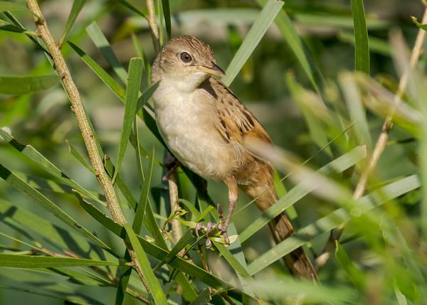 MMPI_20210402_MMPI0076_0012 - Tawny Grassbird (Megalurus timoriensis) perching in a shrub.