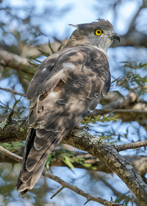 MMPI_20210718_MMPI0076_0002 - Pacific Baza (Aviceda subcristata) perching in a tree. It was on guard as it was being harassed by Pied Butcherbirds.