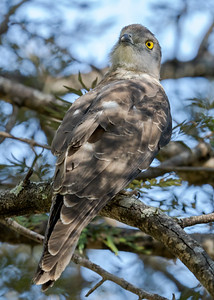 MMPI_20210718_MMPI0076_0001 - Pacific Baza (Aviceda subcristata) perching in a tree. It was on guard as it was being harassed by Pied Butcherbirds.