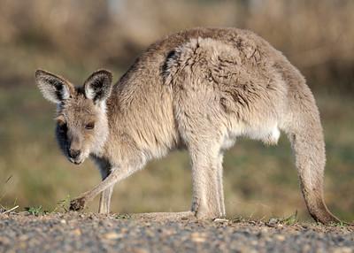 MMPI_20210722_MMPI0076_0003 - Eastern Grey Kangaroo (Macropus giganteus) (immature) feeding.