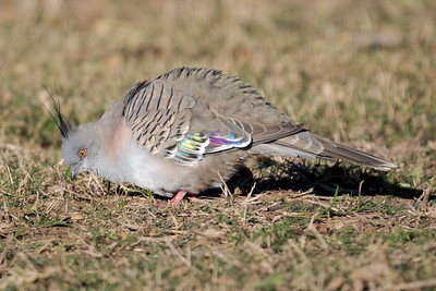 MMPI_20210722_MMPI0076_0001 - Crested Pigeon (Ocyphaps lophotes) feeding on the ground.