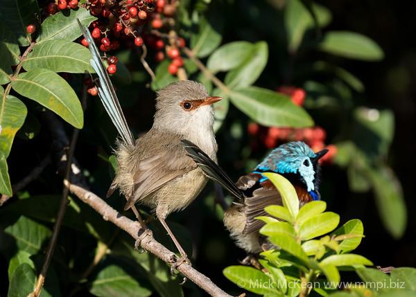 MMPI_20210821_MMPI0076_0017 - Variegated Fairywren (Malurus lamberti) pair perching in a Brazilian Pepper tree.
