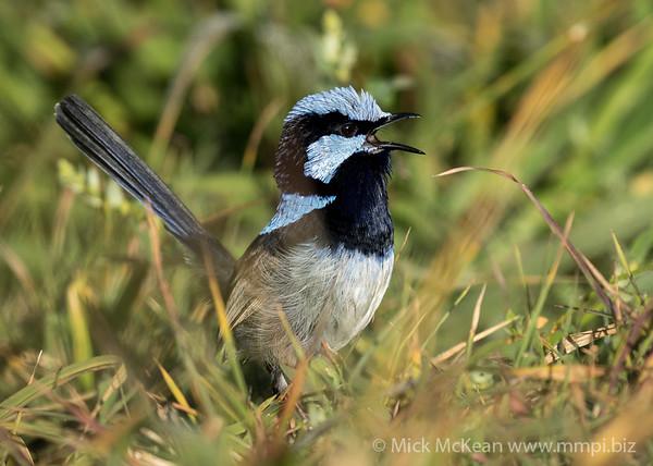 MMPI_20210821_MMPI0076_0016 - Superb Fairywren (Malurus cyaneus) (male) calling amongst the grass.