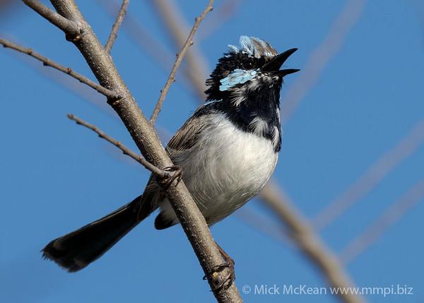 MMPI_20210821_MMPI0076_0022 - Superb Fairywren (Malurus cyaneus) (male) calling from a tree branch.