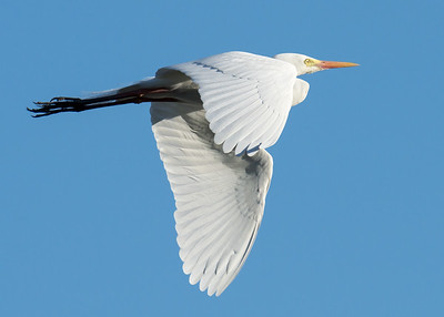 MMPI_20210823_MMPI0076_0004 - Intermediate Egret (Egretta intermedia) in flight.