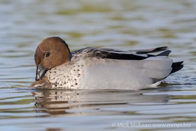 MMPI_20210823_MMPI0076_0013 - Maned Duck (Chenonetta jubata) pair mating on a lake.