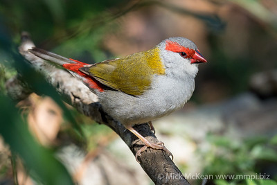 MMPI_20210828_MMPI0076_0001 - Red-browed Finch (Neochmia temporalis) perching in a shrub.