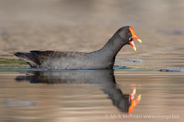 MMPI_20210911_MMPI0076_0005 - Dusky Moorhen (Gallinula tenebrosa) calling while swimming on a lake.