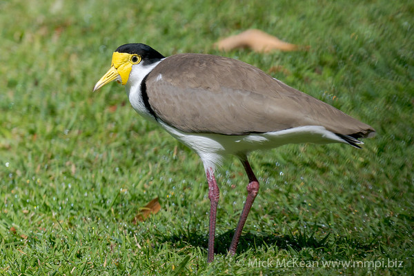 MMPI_20210911_MMPI0076_0017 - Masked Lapwing (Vanellus miles) standing on a lawn.