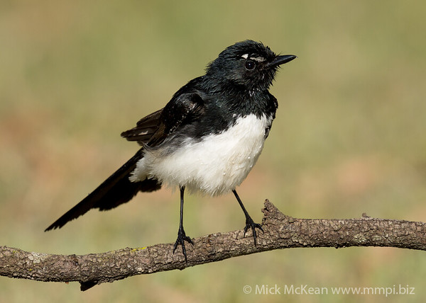 MMPI_20210913_MMPI0076_0002 - Willie Wagtail (Rhipidura leucophrys) perching on a branch after bathing.