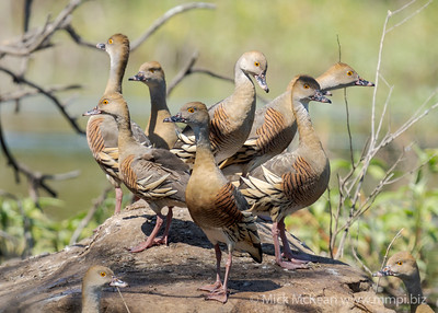 MMPI_20210919_MMPI0076_0009 - Plumed Whistling Duck (Dendrocygna eytoni) group standing on a rock watching me closely.