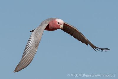 MMPI_20210919_MMPI0076_0003 - Galah (Eolophus roseicapilla) in flight.