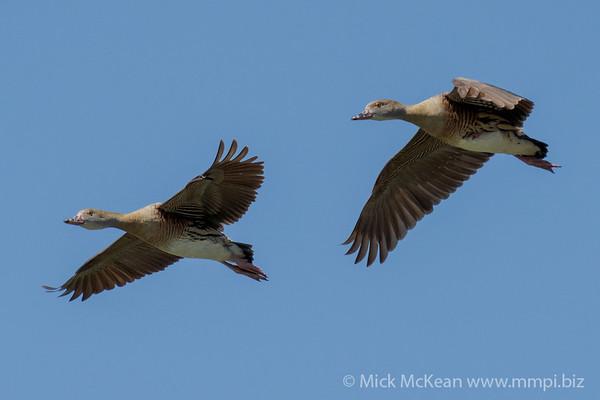 MMPI_20210919_MMPI0076_0005 - Plumed Whistling Duck (Dendrocygna eytoni) pair in flight.