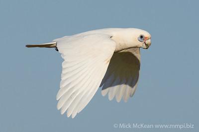 MMPI_20210919_MMPI0076_0001 - Little Corella (Cacatua sanguinea) in flight.