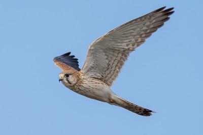 MMPI_20210926_MMPI0076_0004 - Nankeen Kestrel (Falco cenchroides) in flight.