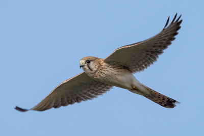 MMPI_20210926_MMPI0076_0003 - Nankeen Kestrel (Falco cenchroides) in flight.