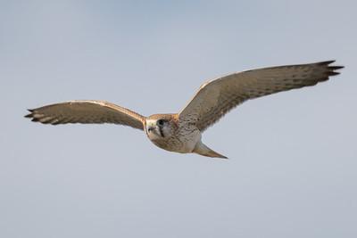 MMPI_20210926_MMPI0076_0002 - Nankeen Kestrel (Falco cenchroides) in flight.