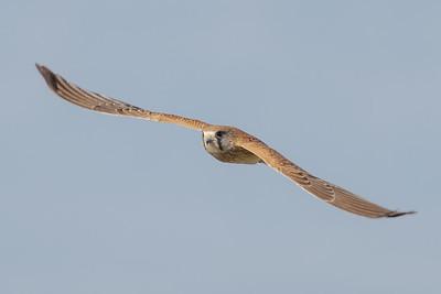 MMPI_20210926_MMPI0076_0001 - Nankeen Kestrel (Falco cenchroides) in flight.