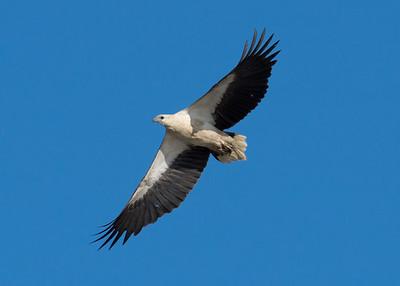 _7R47537 - White-bellied Sea Eagle (Haliaeetus leucogaster) in flight.