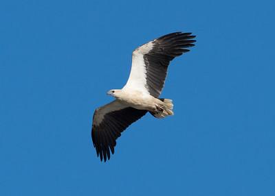 _7R47538 - White-bellied Sea Eagle (Haliaeetus leucogaster) in flight.
