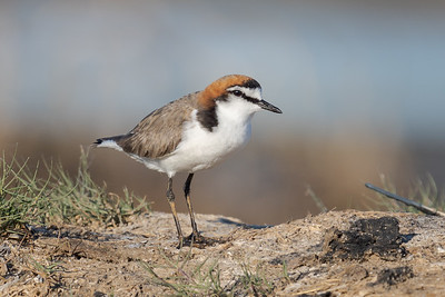 _7R47626 - Red-capped Plover (Charadrius ruficapillus) standing on a mound. This bird kept a close eye on me while a flock of its species fed on the lagoon behind.