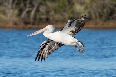 _7R47601 - Australian Pelican (Pelecanus conspicillatus) coming in for landing on a lagoon.