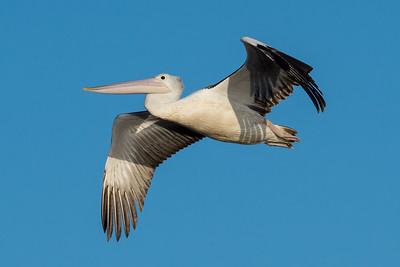 _7R47656 - Australian Pelican (Pelecanus conspicillatus) in flight.