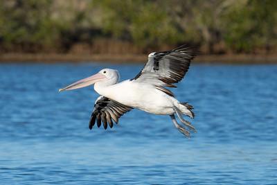 _7R47598 - Australian Pelican (Pelecanus conspicillatus) coming in for landing on a lagoon.