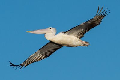 _7R47655 - Australian Pelican (Pelecanus conspicillatus) in flight.