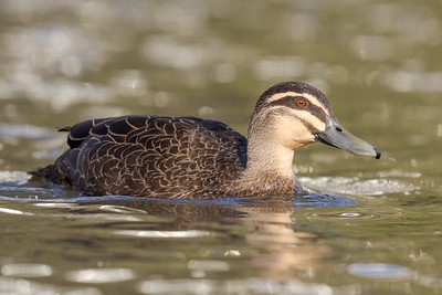 MMPI_20211004_MMPI0076_0001 - Pacific Black Duck (Anas superciliosa) swimming on a lake.