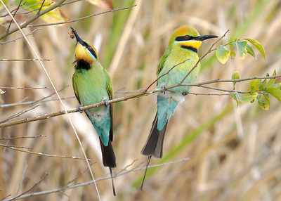 MMPI_20211009_MMPI0076_0004 - Rainbow Bee-eater (Merops ornatus) (male pair). One bird is about to swallow a Bee it caught in flight.