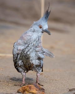 MMPI_20211009_MMPI0076_0008 - Crested Pigeon (Ocyphaps lophotes) (immature) on a riverside beach with a dishevelled appearance. I took the bird to a veterinarian and was told it would be fine after being cleaned.