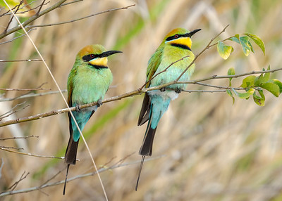 MMPI_20211009_MMPI0076_0003 - Rainbow Bee-eater (Merops ornatus) (male pair) perching on a tree branch.