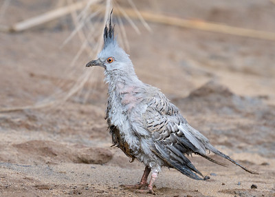 MMPI_20211009_MMPI0076_0006 - Crested Pigeon (Ocyphaps lophotes) (immature) on a riverside beach with a dishevelled appearance. I took the bird to a veterinarian and was told it would be fine after being cleaned.