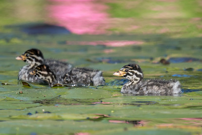 MMPI_20211017_MMPI0076_0008 - Australasian Grebe (Tachybaptus novaehollandiae) chick swimming with its two siblings.