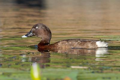 MMPI_20211017_MMPI0076_0017 - Hardhead (Aythya australis) swimming on a lake.