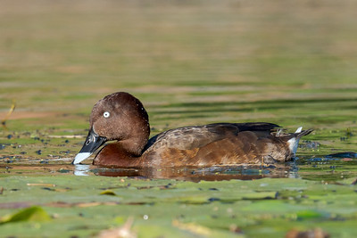 MMPI_20211017_MMPI0076_0016 - Hardhead (Aythya australis) dipping its beak in the water while swimming on a lake.