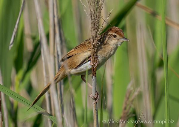 MMPI_20211023_MMPI0076_0016 - Tawny Grassbird (Megalurus timoriensis) perching on a reed stem.