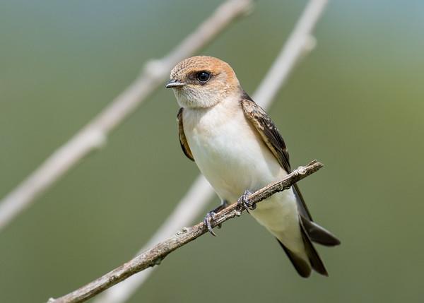 MMPI_20210130_MMPI0076_0019 - Fairy Martin (Petrochelidon ariel) perching on a branch.