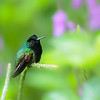 Black Bellied Hummingbird