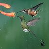White-booted Racket-tail & Buff-tailed Coronet Hummingbirds