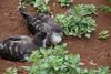 Wedge-tailed Shearwater  IMG_7730