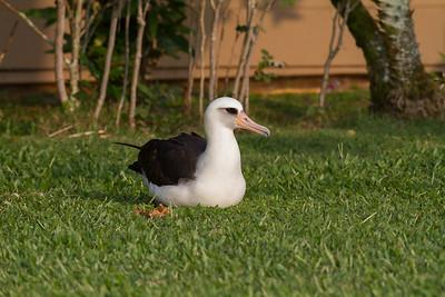 Laysan Albatross IMG_8142