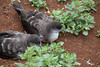 Wedge-tailed Shearwater  IMG_7729