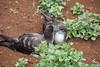 Wedge-tailed Shearwater IMG_7720