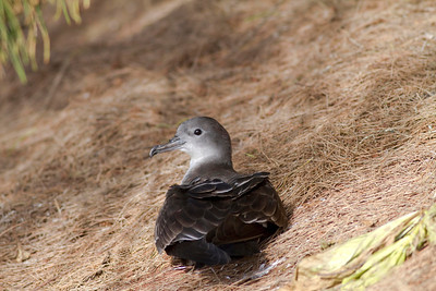 Wedge-tailed Shearwater IMG_0654