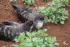 Wedge-tailed Shearwater  IMG_7728