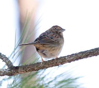 Bachman's Sparrow IMG_1288  rev 1