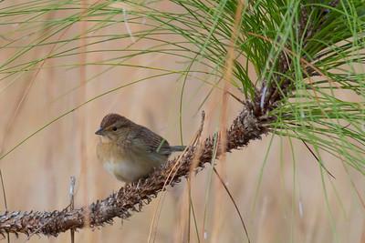 Bachman's Sparrow IMG_0809